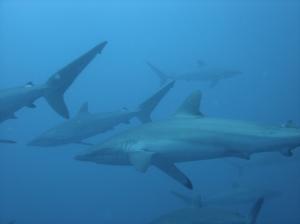 Sharks Malpelo