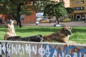 Street dogs in Bogota